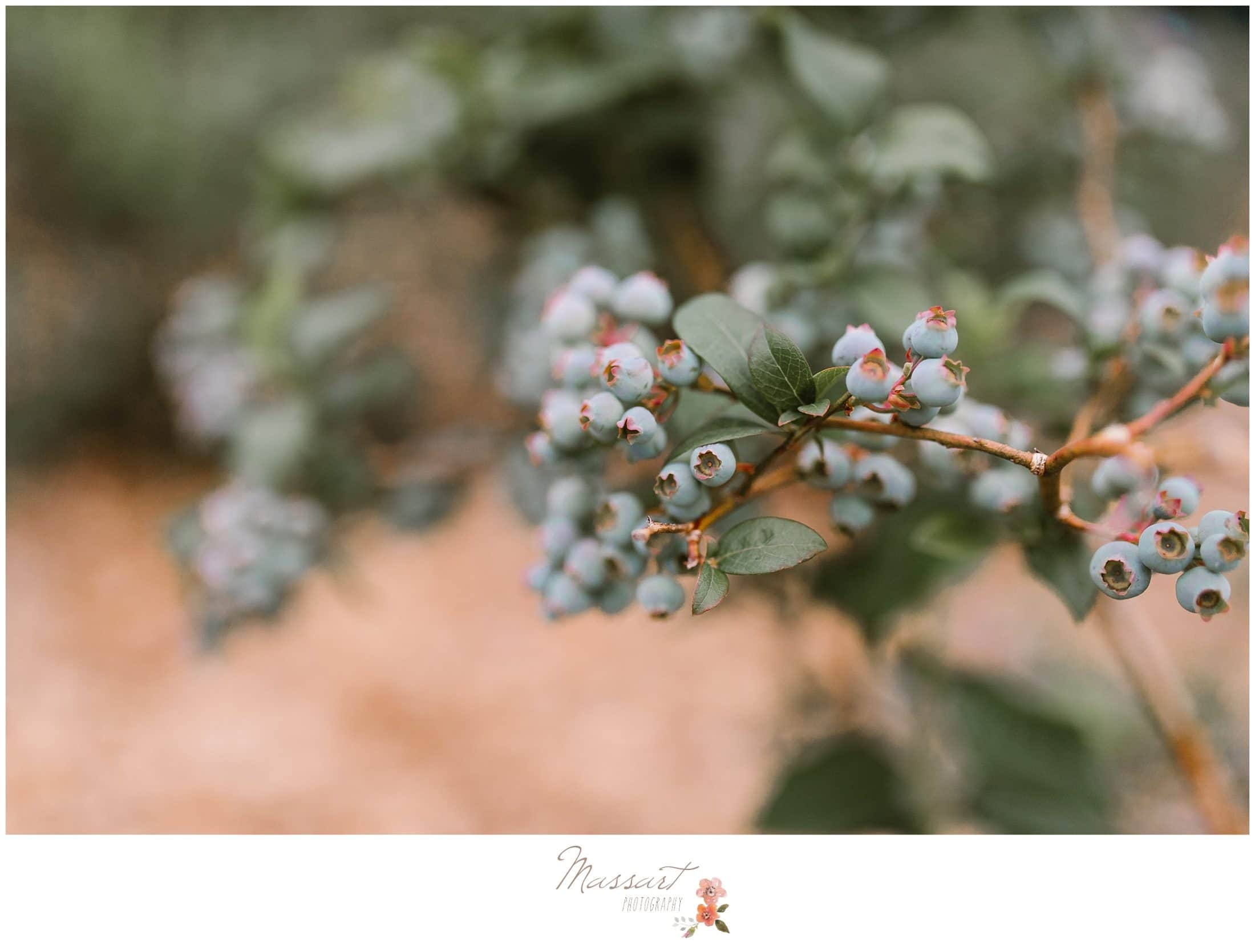 Detail portrait of the blueberries on the tree at the blueberry farm during cake smash session photographed by Massart Photography RI