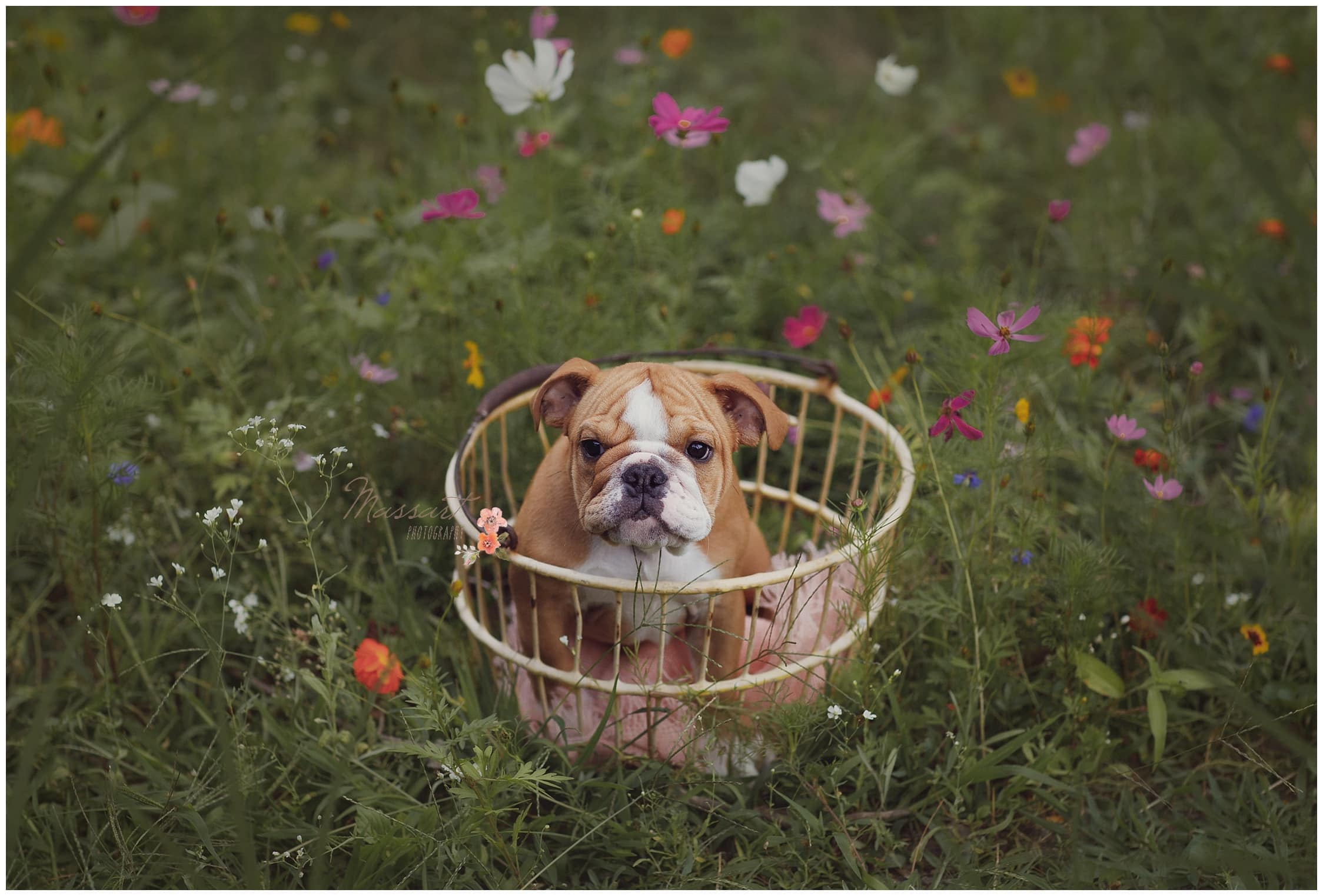 New puppy sits in basket surrounded by flowers during outdoor family portrait session photographed by Massart Photography Rhode Island