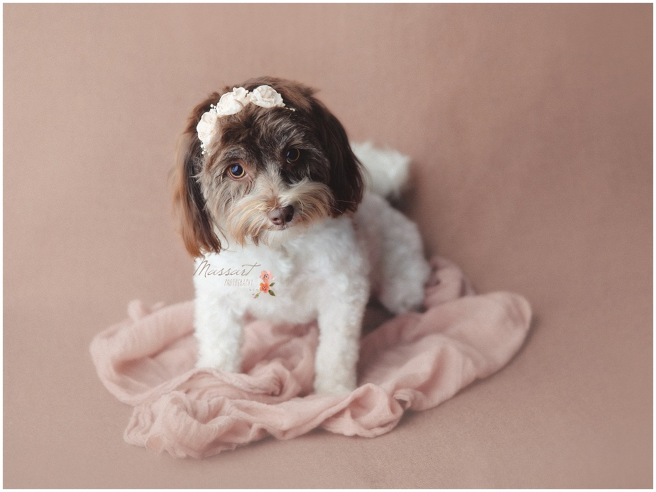 Pink soft tones for the adorable puppy portrait session photographed by Massart Photography Rhode Island